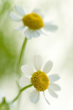 Daisies never tell. TG