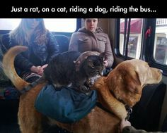 This Is Why I Love Internet. A rat on a cat, riding a dog in the bus.