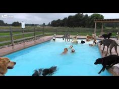 Dog Days of Summer Pool Party - at *THE LUCKY PUPPY COUNTRY DOGGY DAY CARE CENTRE , 8721 Yensch Road, Maybee, MI 48159, United States. FOR MORE VIDEOS go to their website www.myluckypuppy.com