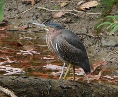Wondering if the Great Blue Heron got the word out that there are fish a' plenty in the arboretum's main pond? Now Green Heron at the #EJCArboretumJMU also. We love our wildlife. Thanks JMU for an urban wildlife and botanical preserve.