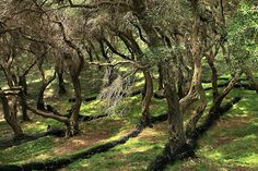 Maze of olive trees. Parga, Epirus, Greece.