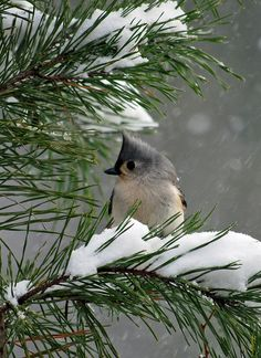 Little titmouse in snow