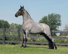 Blue roan Tennessee Walker. My dream horse!