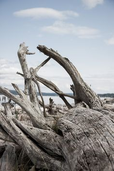 Whidbey Island—driftwood
