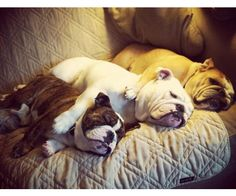Gimme! nap time, sleeping dogs, anim, pet, english bulldogs, bulli, spoon, snuggl, puppi