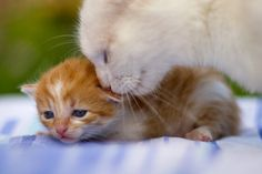 Mama Cat Re-assuring One of Her Kittens.