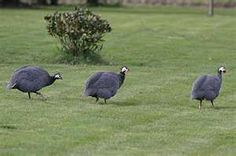 """Guinea fowl are great """"watch dogs"""""""