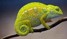 carpet chameleon by michael schwartz