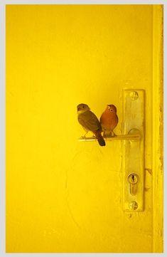 sweet yellow birdies