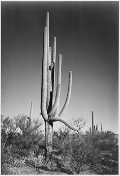 "Full view of cactus and surrounding shrubs, ""In Saguaro National Monument,"" Arizona. (Vertical Orientation) by The U.S. National Archives, via Flickr"