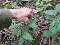 The Foraging Family: How to Pick Stinging Nettles Without Gloves