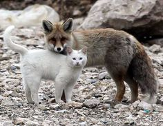 ...a fox befriended a cat in Turkey. These two are both wild, and have been observed playing together, hunting together, and cleaning each other! The pair always stick together and explore Turkey's wilderness.