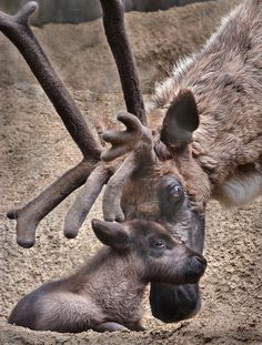 Baby Reindeer - Born two weeks ago at the SD Zoo.