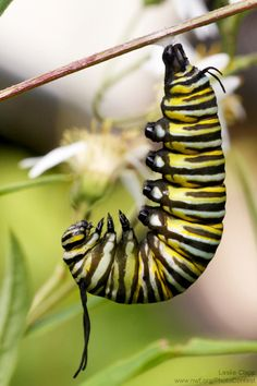 I want to plant milkweed to help monarch butterflies. Where can I buy it and how do I grow it? Find out the answers here!