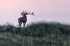 Deer / Hirsch by Hans Rentsch on 500px