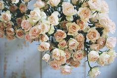 Pink Roses by @Olivia García Rae James