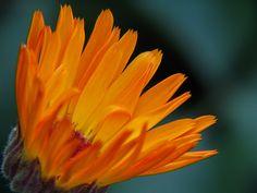 -Blen aromaterapia- calendula oil