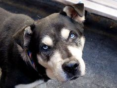 TO BE DESTROYED 8/21/14 Manhattan Center   ~~SENIOR ALERT~~My name is BHIMA. My Animal ID # is A1010857. I am a neutered male black and white germ shepherd mix. The shelter thinks I am about 8 YEARS old.  I came in the shelter as a STRAY on 08/16/2014 from NY 10029, owner surrender reason stated was STRAY.