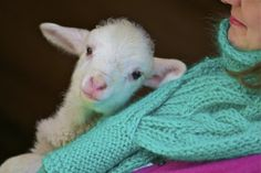 cool site with live lamb cam!