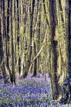 Bluebell Woods just like near our lodge.