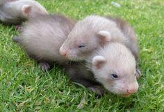 baby ferrets<3