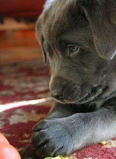 Silver Lab puppy <3