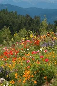 wild flower, field, mountain cabins, wildflowers, nature, front yards, seeds, dream gardens, wildflower meadow