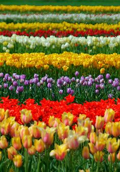 Tulips in Holland, MI