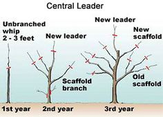 How To Prune An Apple Tree to a Central Leader or a Open Center.
