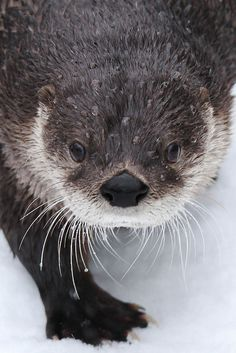 North American River Otter in the snow