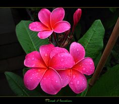 Plumeria: perfection, new beginnings, springtime  picking out flowers for my side piece based on meanings