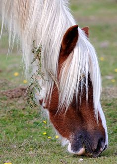New Forest pony | Flickr