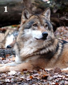 I have dozens of 8x10 prints that ship all ready for your frame! The are high-quality full color wildlife images. Perfect for home, office, or camp. $8.00 each plus $2 shipping.  Wolf 8x10 Color Print  5 Designs Available by WildlandCreations