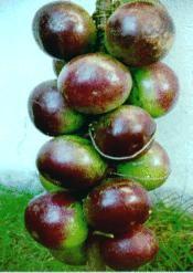 Jamaican fruits - star apple