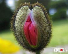 Hairy Vulva plant