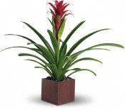 Teleflora's Bromeliad Beauty Plants