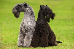 Kerry Blue Terrier looks like Jelly and Zippit