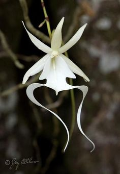 Ghost Orchid Endangered.  Is found in moist, swampy forests in southwestern Florida and Cuba, and other Caribbean islands. During its peak fragrance emittance in the early morning, the scent is fruity, resembling an apple.