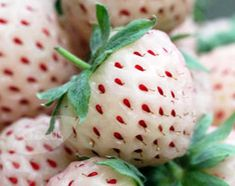 Cute! White Dream Pineberry, tastes like pineapple, must have for my garden!