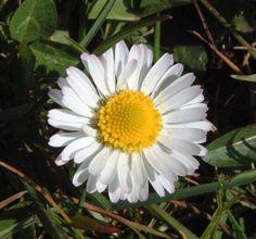 love this daisy