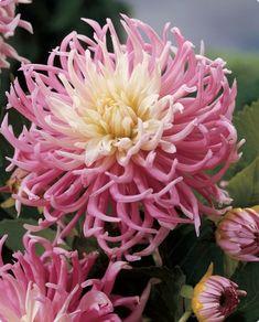 Cactus Dahlia Star's Favourite
