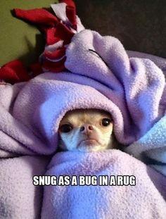 Chihuahuas lurve a blanket