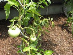 habitat garden, garden plan, butterfli habitat, tomato hornworm, vegetables garden, tomato garden, veget garden