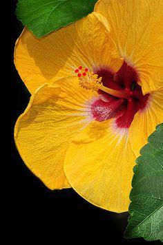 Yellow Hibiscus  - popculturez.com