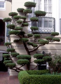 "Cloud Pruning (Niwaki). Cloud Pruning is pruning limbs in such a way as to create space between them and flatten the top and bottom. It gives the appearance of ""clouds."" Sometimes it is a solution for problems like limited yard space."