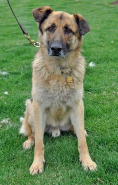 You can fill out an adoption application online on our official website.Hercules is what rescue work is all about. He came from an animal shelter and was in bad condition. Like many shepherds he's intolerant of grains in dog food. That contributed...
