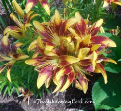 Orange and yellow asiatic lilies are magnificent right now.  See more of my garden tour at http://thegardeningcook.com/garden-june/