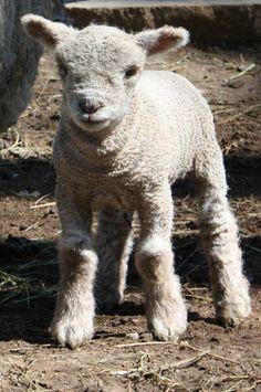 """""""Nera""""  Babydoll Southdown sheep www.kellanefarm.com"""