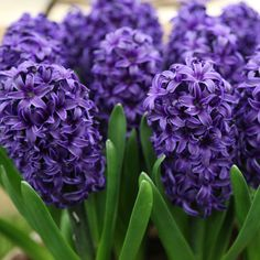 Who doesn't love the deep purple blossoms of this hyacinth variety?  More -->  http://www.hgtvgardens.com/photos/flowering-plants-photos/50-fabulous-flowers?soc=MGPN flower garden, purple, flowering plants, fabul flower, deep purpl, hyacinthus orientali, purpl hyacinth, blossom, orientali aida