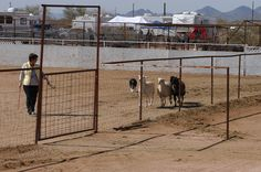 herd bordercolli, herd trial, akc herd